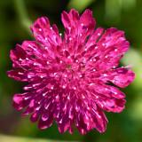 IMG_3465.jpg Scabius - RHS Garden Harlow Carr, Yorkshire - © A Santillo 2011