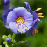 IMG_3471b.jpg Verbascum - RHS Garden Harlow Carr, Yorkshire - © A Santillo 2011
