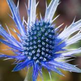IMG_3475.jpg Eryngium - RHS Garden Harlow Carr, Yorkshire - © A Santillo 2011