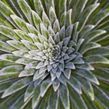 IMG_3485.jpg Saxifraga Longifolia - RHS Garden Harlow Carr, Yorkshire - © A Santillo 2011