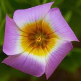 IMG_3486.jpg Oxalis Inops - RHS Garden Harlow Carr, Yorkshire - © A Santillo 2011