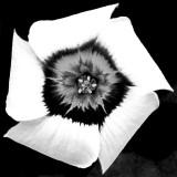 IMG_3486b.jpg Oxalis Inops - RHS Garden Harlow Carr, Yorkshire - © A Santillo 2011