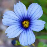 IMG_3487.jpg Sisyrinchium - RHS Garden Harlow Carr, Yorkshire - © A Santillo 2011