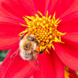 G10_0389.jpg Dhalia and Bee - Bodnant Garden, Eglwysbach, Conwy, Wales - © A Santillo 2009
