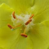 G10_0392A.jpg Verbascum olympicum - Bodnant Garden, Eglwysbach, Conwy, Wales - © A Santillo 2009