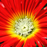 IMG_2672b.jpg Lampranthus splendens - National Botanic Garden Wales - © A. Santillo 2010