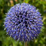 IMG_4021.jpg Echinops Bannaticus Taplow Blue Ateraceae - National Botanic Garden Wales - © A Santillo 2012