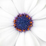 IMG_4027.jpg Osteospermum 'Akila Daisy' white - Asteraceae - Middleton Hall, National Botanic Garden Wales - © A Santillo 2012