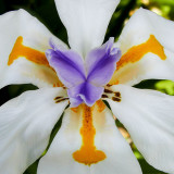 IMG_4029.jpg Dietes Grandiflora - Iridaceae - Middleton Hall, National Botanic Garden Wales - © A Santillo 2012