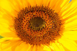 _MG_1954.jpg Sunflower - Wearde, Saltash - © A Santillo 2007