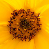 _MG_2139.jpg Sunflower - Wearde, Saltash - © A Santillo 2007