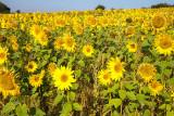 IMG_4672-Edit.jpg Field of Sunflowers - Sand acre Bay, Wearde, Saltash - © A Santillo 2013