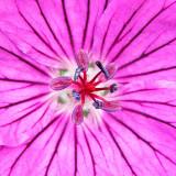 _MG_2007B.jpg Geranium 'Ann Folkard' - Overbecks - © A Santillo 2007