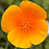_MG_2034A.jpg Californian Poppy - Overbecks - © A Santillo 2007