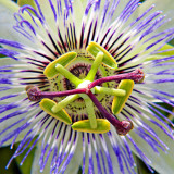 _MG_2042A-7in-x7in-300dpi.jpg Passion Flower - Overbecks - © A Santillo 2008