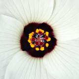 _MG_2045B-7in-x7in-300dpi.jpg Hibiscus Trionum - Overbecks - © A Santillo 2008