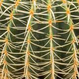 G10_1251a.jpg Echinocatus grusonii - Cactaceae - Central Mexico - Desert Housee - Paington Zoo - © A Santillo 2012