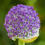 IMG_3469.jpg Allium  - Harlow Car Yorkshire - © A Santillo 2011 - © A Santillo 2011