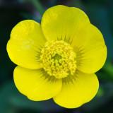 IMG_4295.jpg Native Buttercup - RHS Rosemoor - © A. Santillo 2013