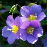 IMG_4296.jpg Unknown flower - RHS Rosemoor - © A Santillo 2009