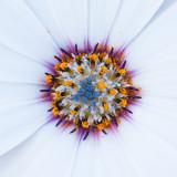 IMG_4298A.jpg Osteospermum - Asteraceae - RHS Rosemoor - © A Santillo 2009