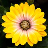 IMG_4322.jpg Osteospermum 'Flower Power Pink Honey' - RHS Rosemoor - Asteraceae - © A. Santillo 2013