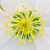 IMG_5233.jpg Hellaborus Verboom Beauty - RHS Rosemoor - © A Santillo 2014