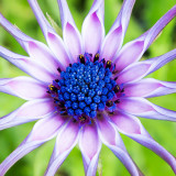 IMG_6520-Edit.jpg Osteospermum- RHS Rosemoor - © A Santillo 2014