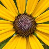 IMG_6537-Edit.jpg Rudbeckia Asteraceae - RHS Rosemoor - © A Santillo 2014