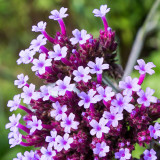 IMG_6539-Edit.jpg Verbena bonariensis - Purpletop Vervain - RHS Rosemoor - © A Santillo 2014