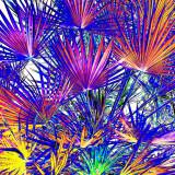 CRW_00800A.jpg Bismarckia nobilis - Bismark palm - Humid Tropics Biome - © A Santillo 2004