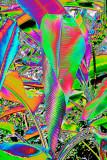 CRW_00804A.jpg Victoria cruziana - Victoria lily - Humid Tropics Biome - © A Santillo 2004