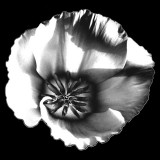 CRW_00830CB&W.jpg Californian poppy 'papaver' - California - Warm Temperate Biome - © A Santillo 2004