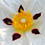 IMG_2621A.jpg Cistus - Warm Temperate Biome - © A Santillo 2010
