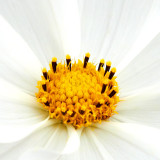 IMG_2842a.jpg Unknown Flower - Warm Temperate Biome - © A Santillo 2010
