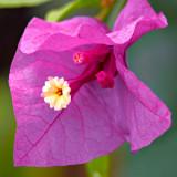 IMG_2860.jpg Bougainvillea - bougainvillea spp. - Warm Temperate Biome - © A Santillo 2010