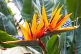 IMG_3884.jpg Bird-of-Paradise - Strelitzia reginae - Strlitziaceae - Warm Temperate Biome - © A Santillo 2012