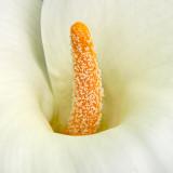 IMG_3898.jpg Arum Lily - Zantedeschia aethiopica - Araceae - Warm Temperate Biome - © A Santillo 2012