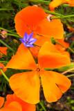IMG_3900.jpg Californian Poppy 'papaver' - Warm Temperate Biome - © A Santillo 2012