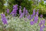IMG_3902.jpg Lupinus albifrons var. Douglasii - Fabaceae - Warm Temperate Biome - © A Santillo 2012