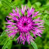 IMG_3904.jpg Ecballium elaterium - Warm Temperate Biome - © A Santillo 2012