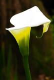 IMG_4194a.jpg Arum Lily - Zantedeschia aethiopica - Araceae - Warm Temperate Biome - © A Santillo 2013