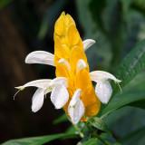 IMG_4241.jpg Lollipop Plant or Golden Shrimp Plant - Rainforest Biome - © A Santillo 2013