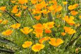 IMG_4264.jpg Californian Poppies 'papaver' - Mediterranean Biome - © A Santillo 2013