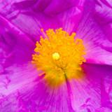 IMG_5780.jpg Cistus - Rock Rose - Cistaceae - Mediterranean Biome - © A Santillo 2014