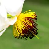 IMG_5818a.jpg African Hemp - Sparrmannia africana - Tiliaceae - Mediterranean Biome - © A Santillo 2014