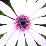 IMG_6618-Edit.jpg Osteospermum - Mediterranean Biome - © A Santillo 2015