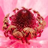 IMG_6924-Edit.jpg Persian Buttercups - Ranunculus asiaticus 'Aviv Series' Ranunculacea - Mediterranean Biome - © A Santillo 2016