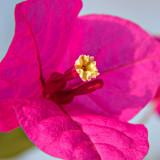 _MG_1494A.jpg Bougainillea - bougainvillea spp. - Warm Temperate Biome - © A Santillo 2006