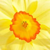 _MG_1699A-7in-x-7in-300dpi.jpg Daffodil - Warm Temperate Biome - © A Santillo 2007